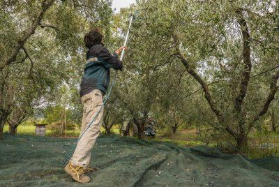 raccolta olive 2016 raccolta olio dell azienda rigoli fatta a mano