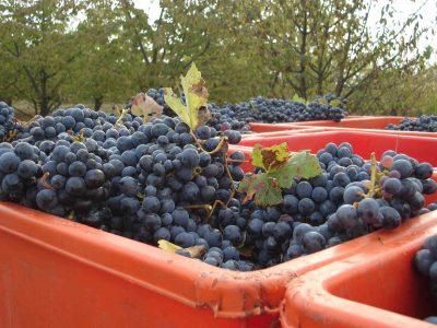 vendemmia , raccolta uva